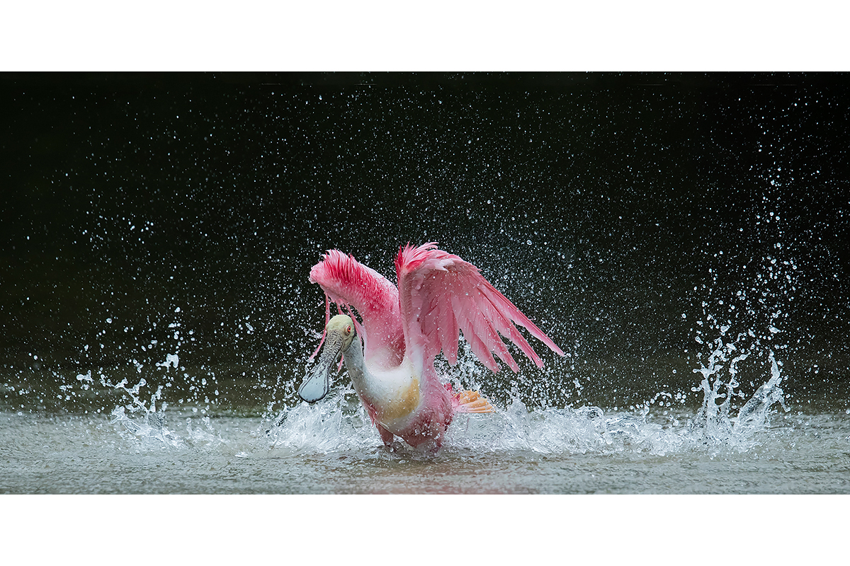 Fine Art_Florida Spoonbills_Splashes