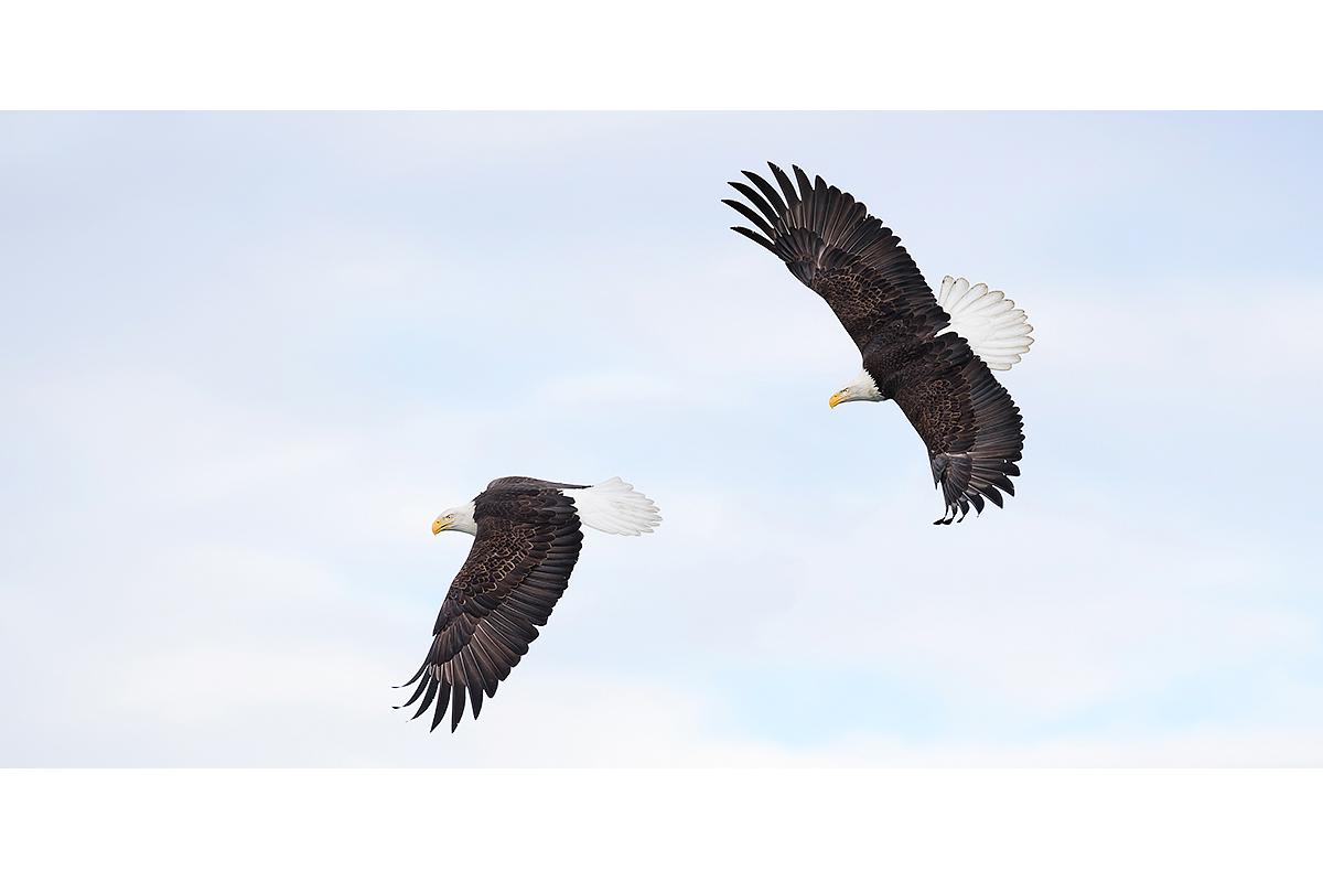 Alaska Bald Eagles_Fine Art_Bald Flyers