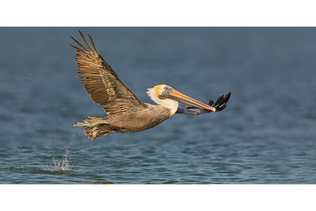 Fine Art Florida Birds_Pelican's Elegance