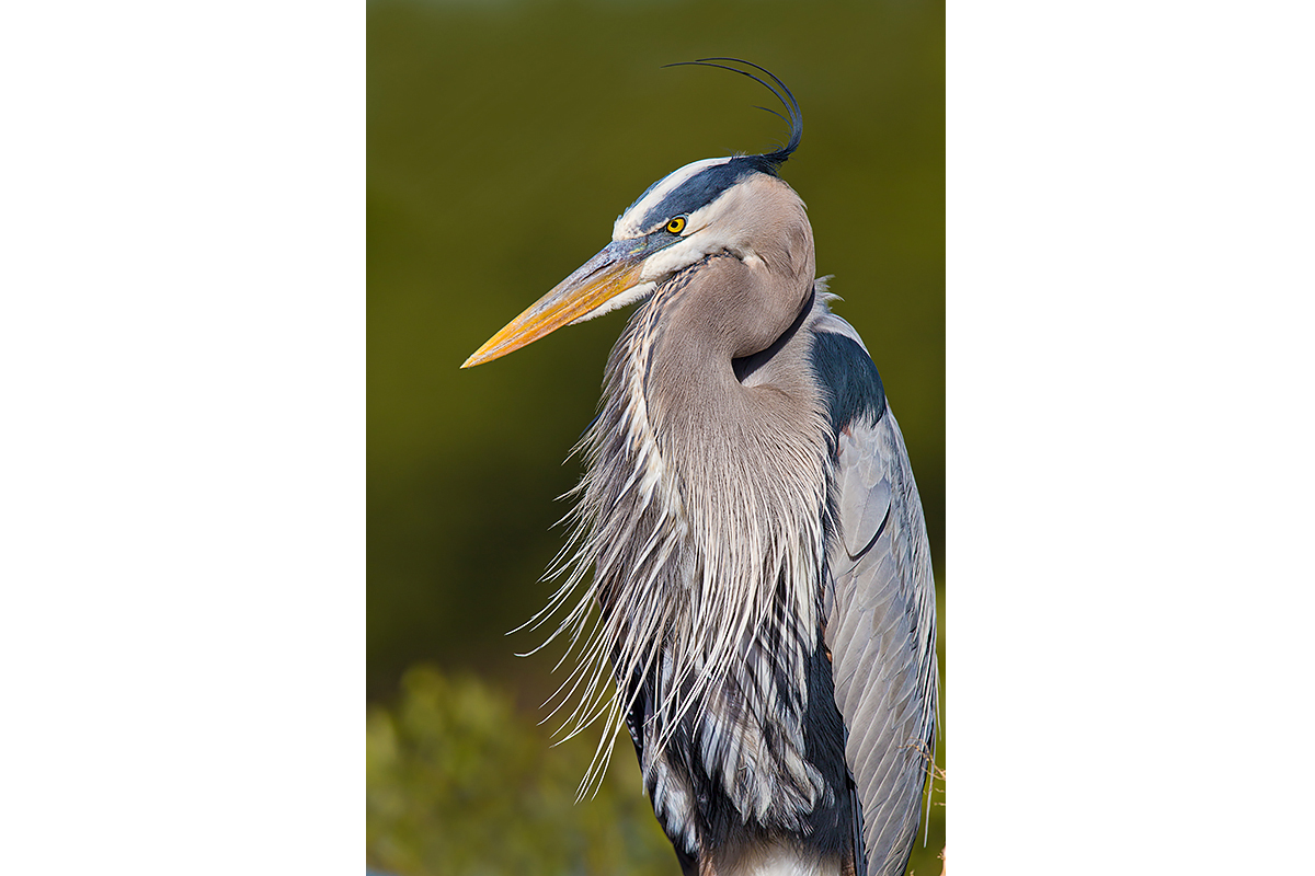 Fine Art Florida Birds_Great Blue Attitude