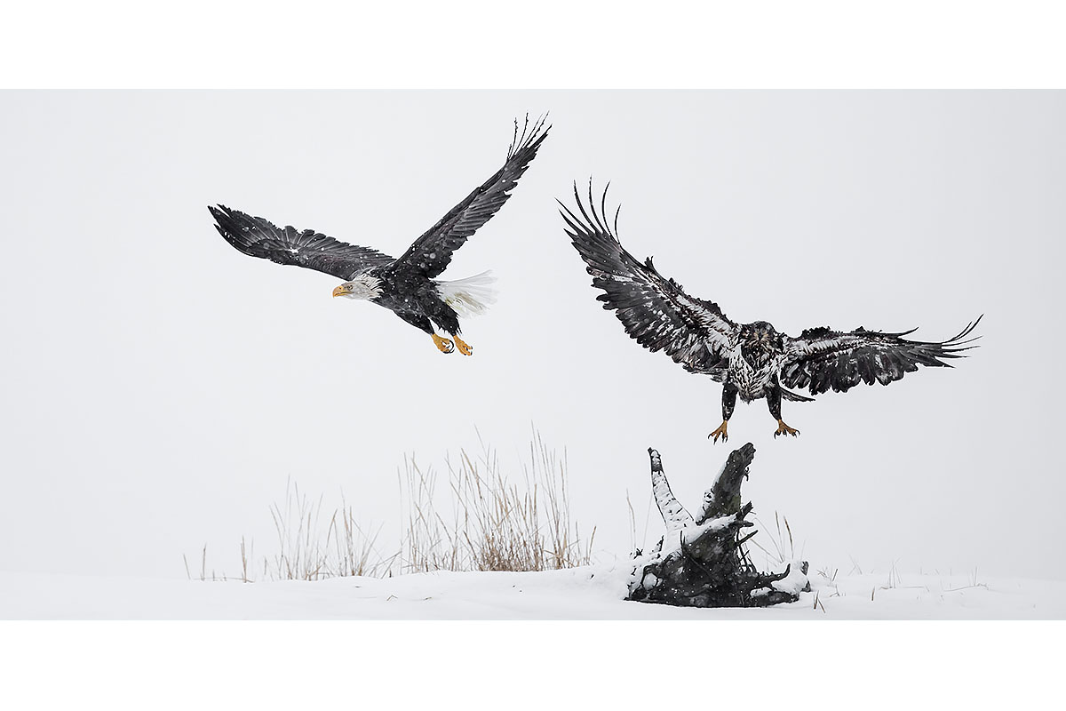Alaska Bald Eagles_Fine Art_Bald Eagles Environment
