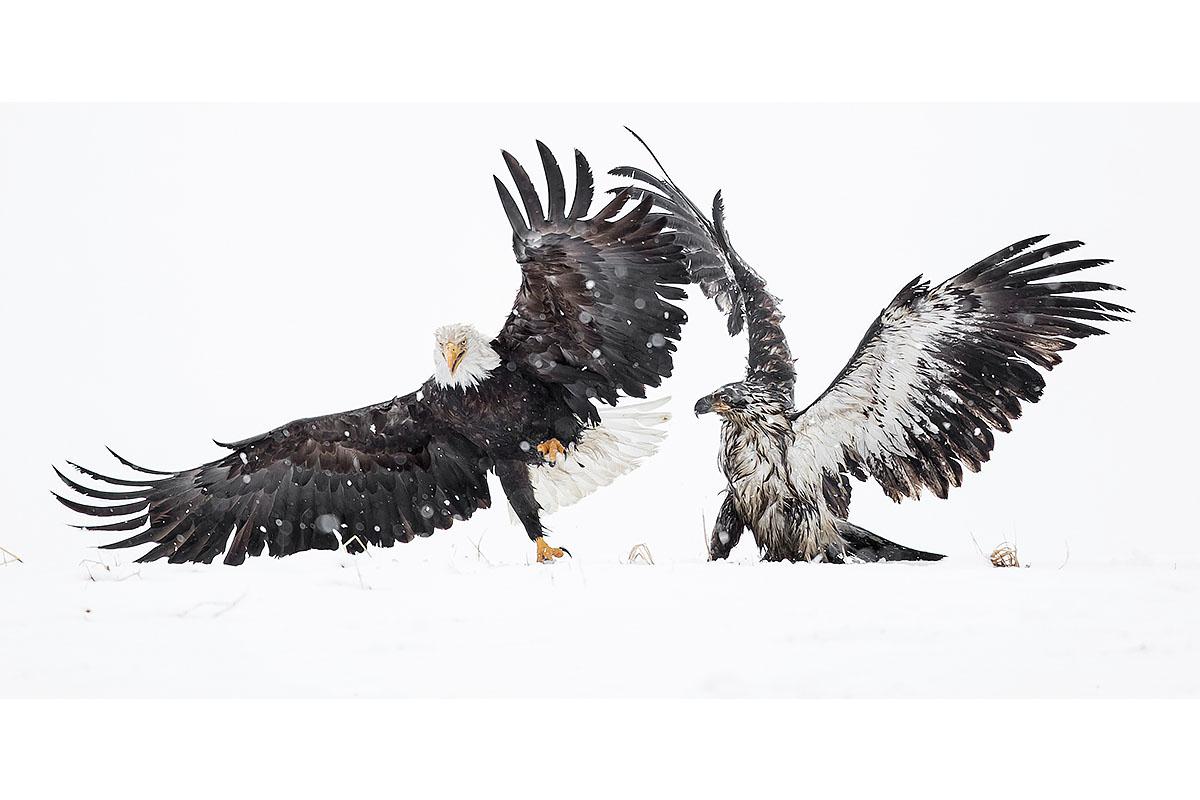 Alaska Bald Eagles_Fine Art_Dispute