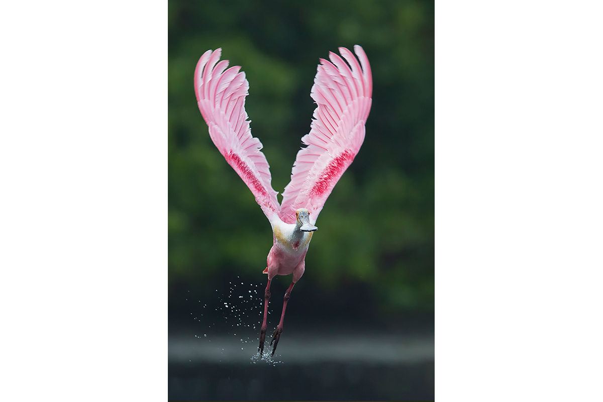 Fine Art_Florida Spoonbills_Leaving The Mangrove