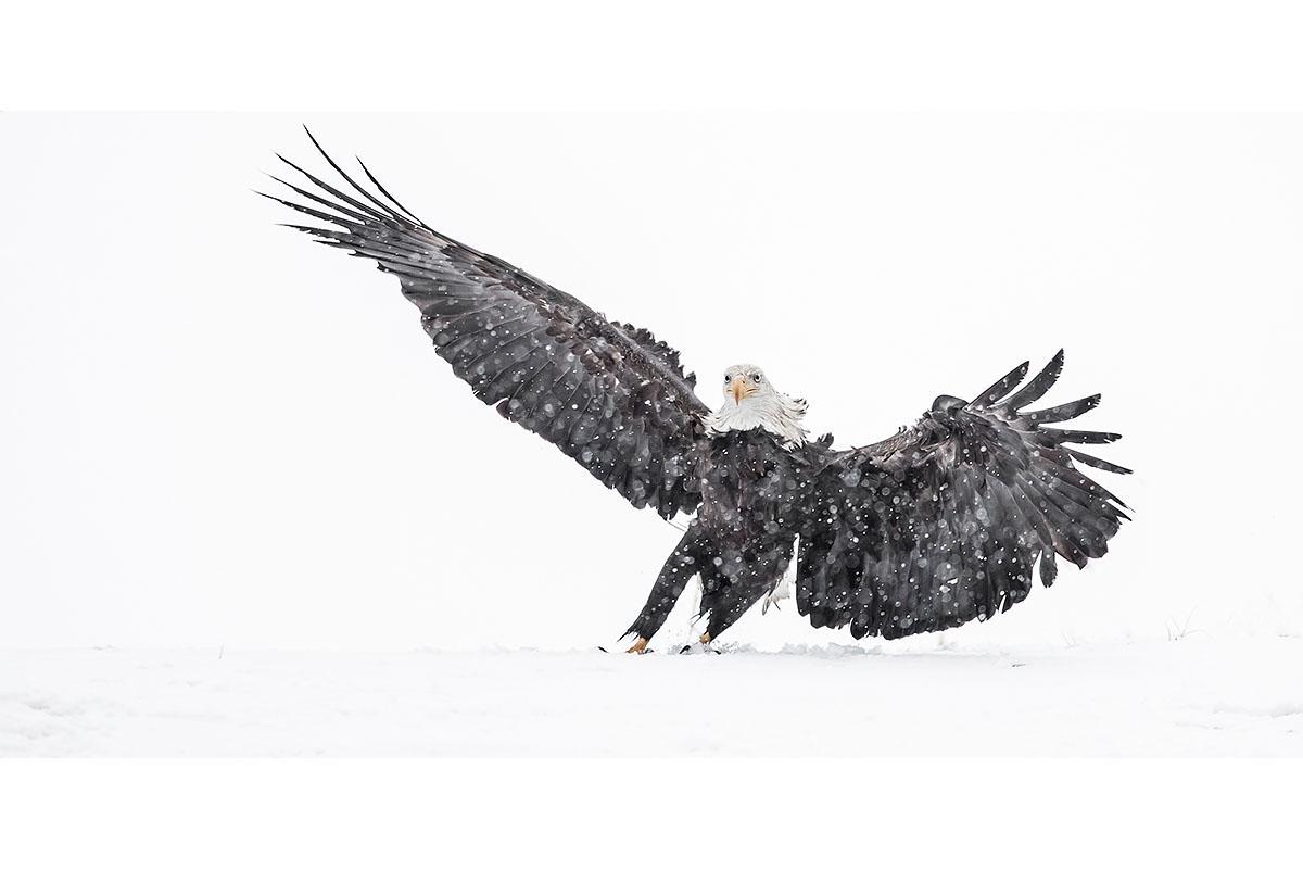 Alaska Bald Eagles_Fine Art_Snow Storm Landing