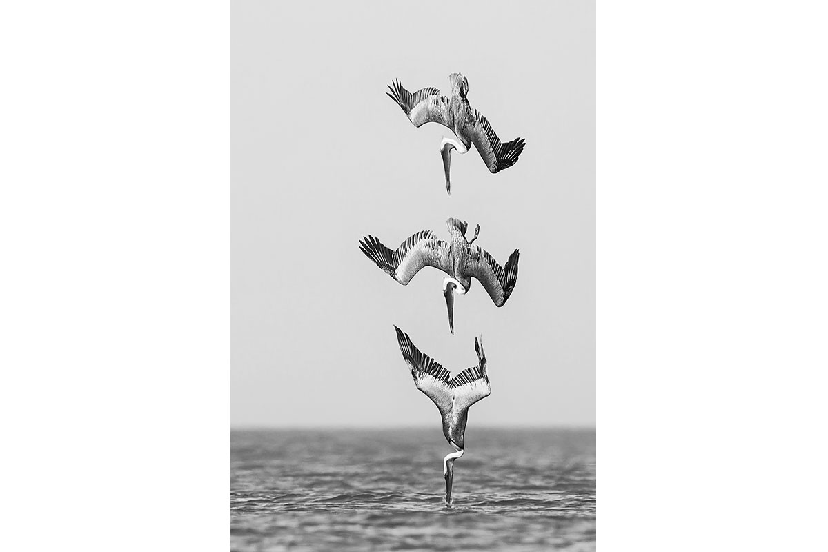 Black and White_Fine Art_Pelican Diving
