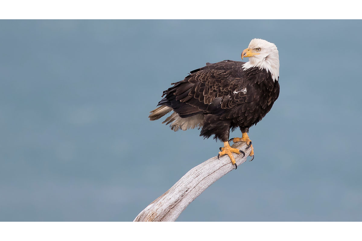 Alaska Bald Eagles_Fine Art_Perched
