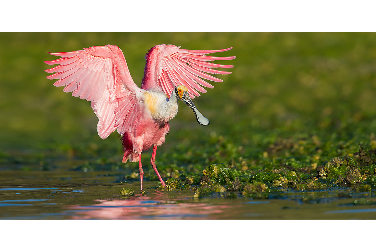 Fine Art_Florida Spoonbills_Flapping In The Greens