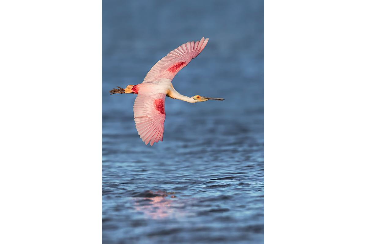 Fine Art_Florida Spoonbills_Pink Over The Ocean