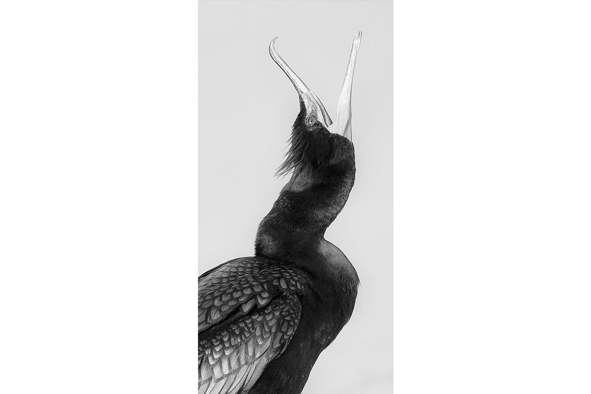 Black and White_Fine Art_Cormorant Squawk