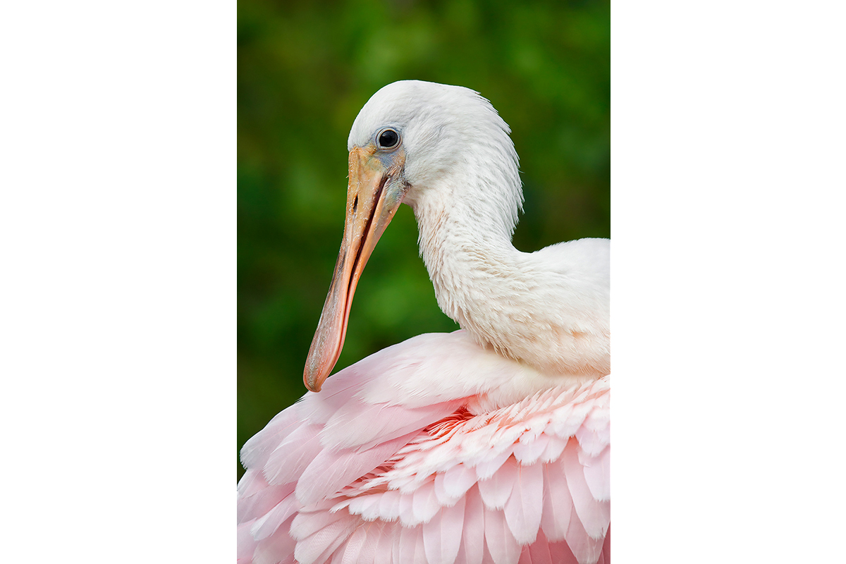 Fine Art_Florida Spoonbills_Young Plumage