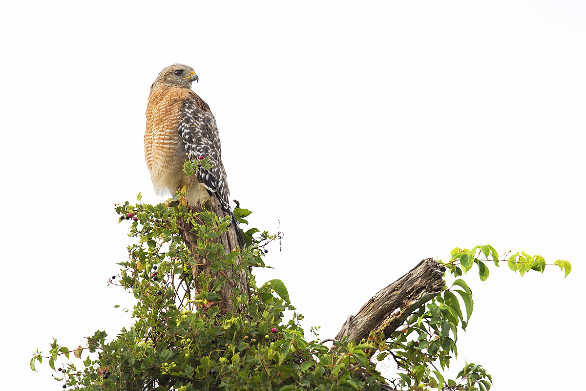 Fine Art Florida Birds_On The Lookout