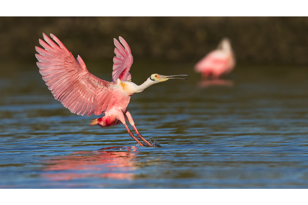 Fine Art_Florida Spoonbills_Landing Lesson