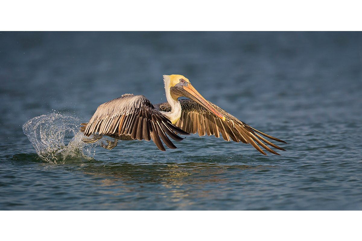 Fine Art Florida Birds_Take Off From The Water