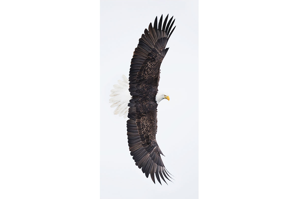 Alaska Bald Eagles_Fine Art_Wing Span