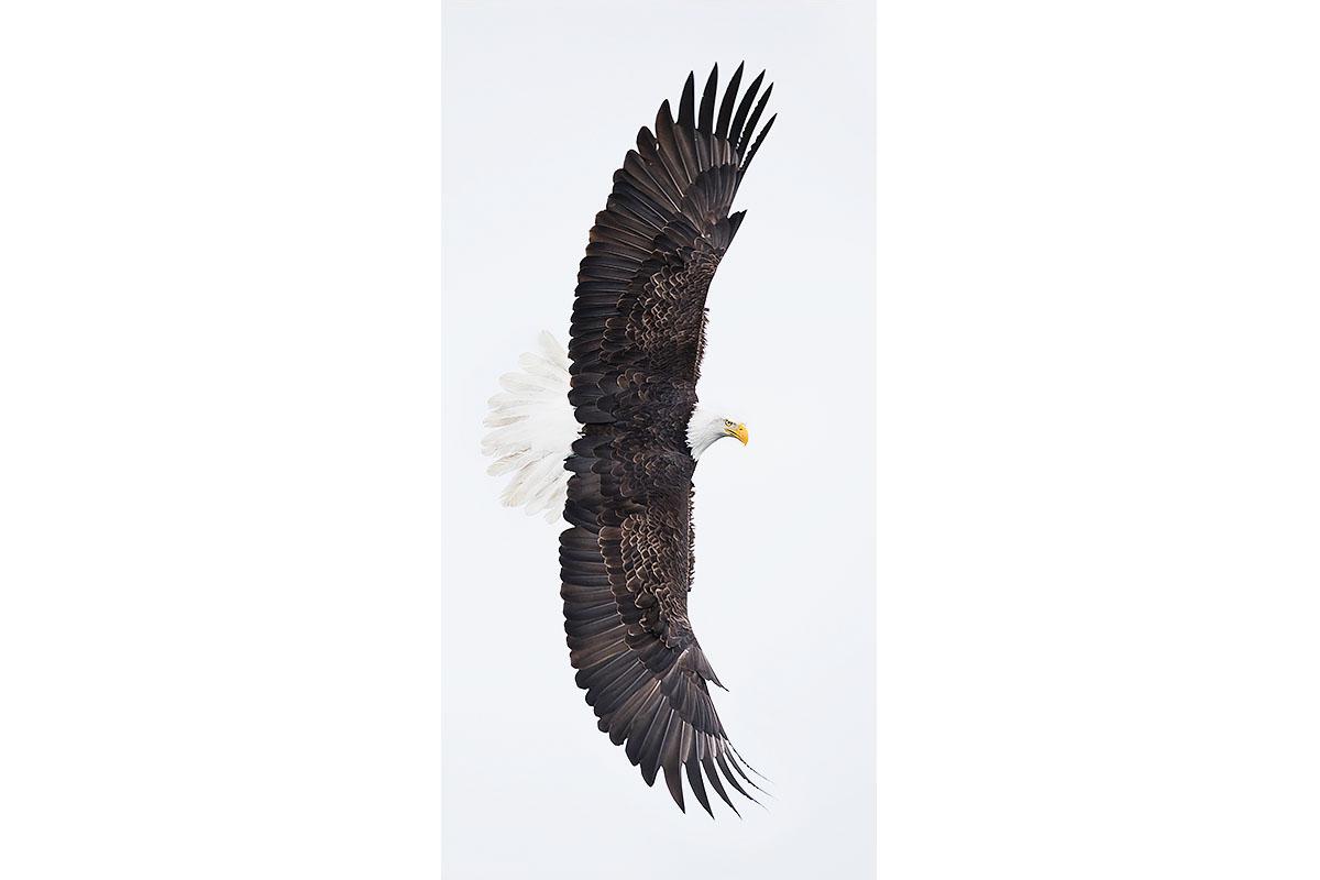 Alaska Bald Eagles_Fine Art_Wing Span