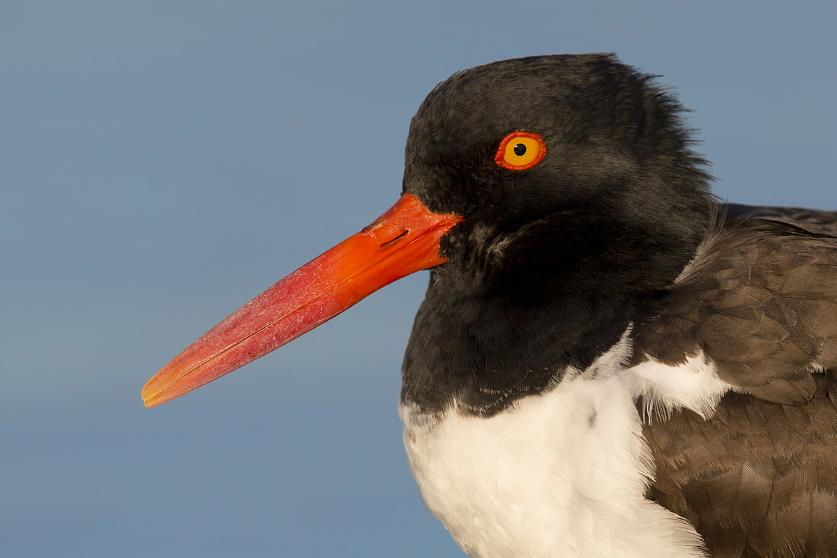 Fine Art Florida Birds_Oystercatcher Portrait
