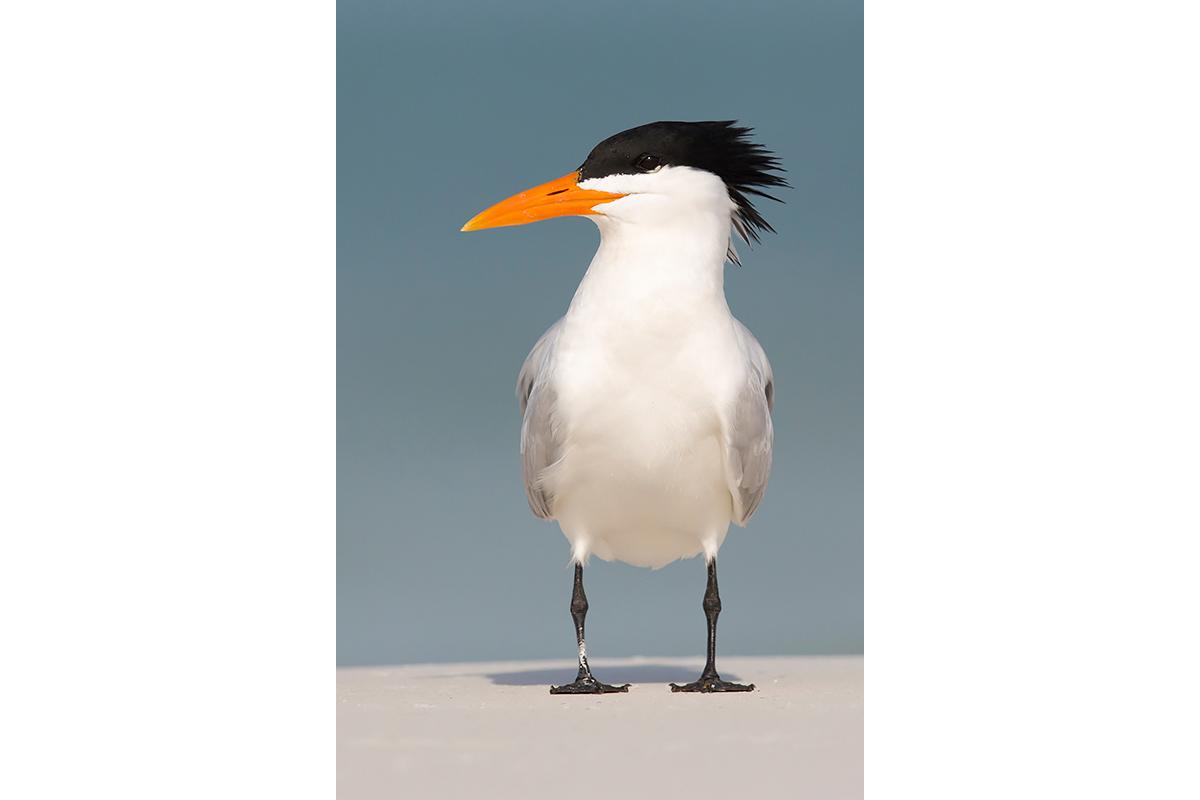 Fine Art Florida Birds_Royally Yours