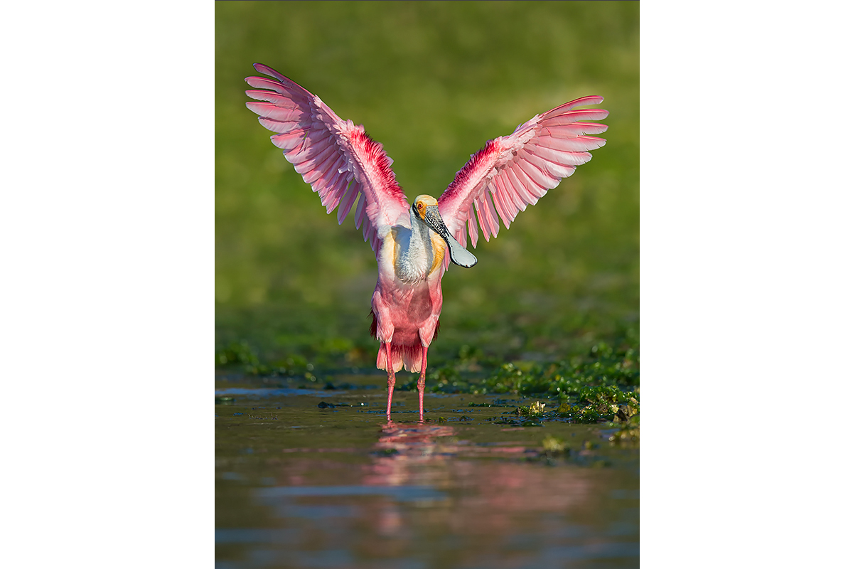 Fine Art_Florida Spoonbills_Breeding Pose