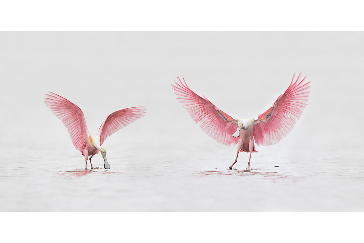 Fine Art_Florida Spoonbills_Wings Up