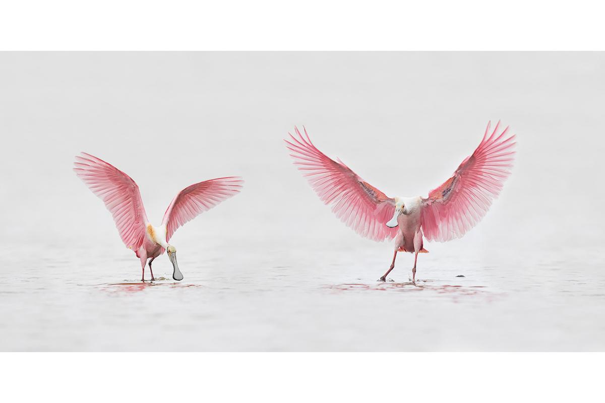 Fine Art_Florida Spoonbills_Wings Up