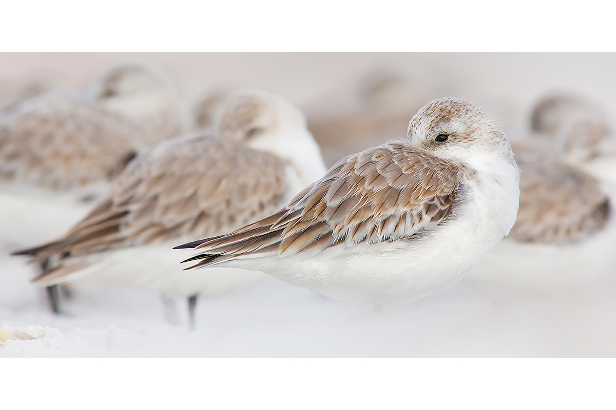 Fine Art Florida Birds_Sleeping Crowd