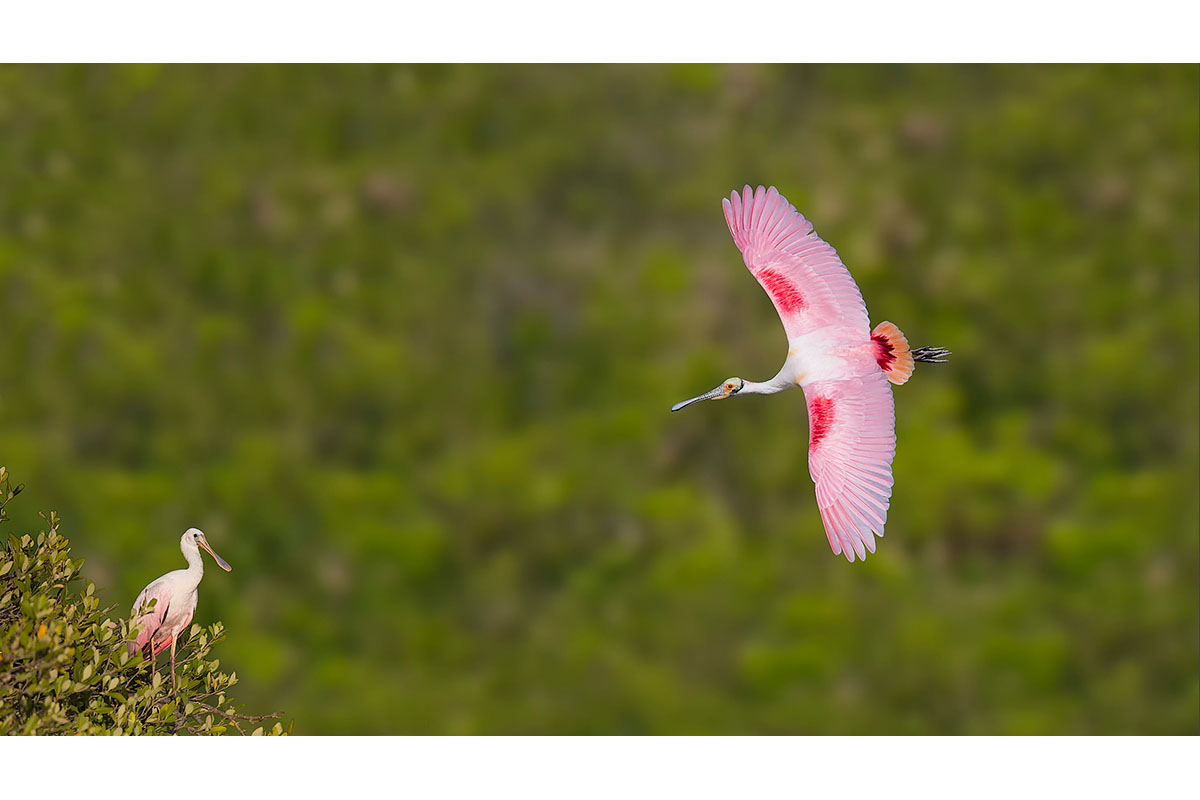 Fine Art_Florida Spoonbills_Over The Mangrove Trees