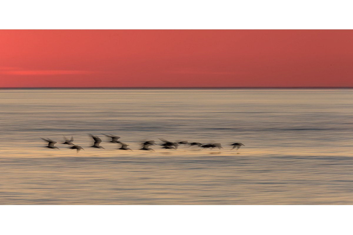 Fine Art Florida Birds_Sunset Skimmers