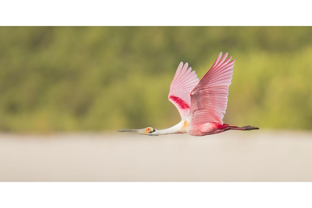 Fine Art_Florida Spoonbills_Flying Along The Beach