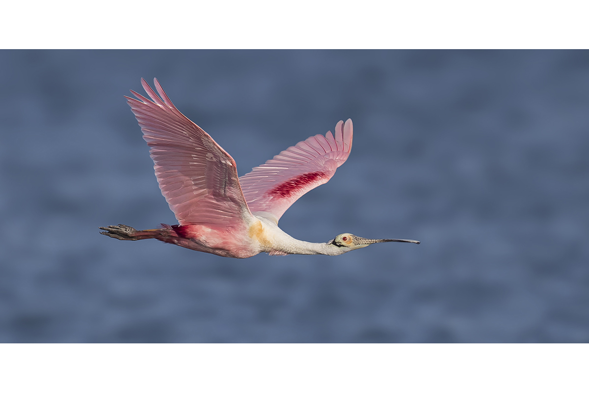 Fine Art_Florida Spoonbills_Crossing The Sea