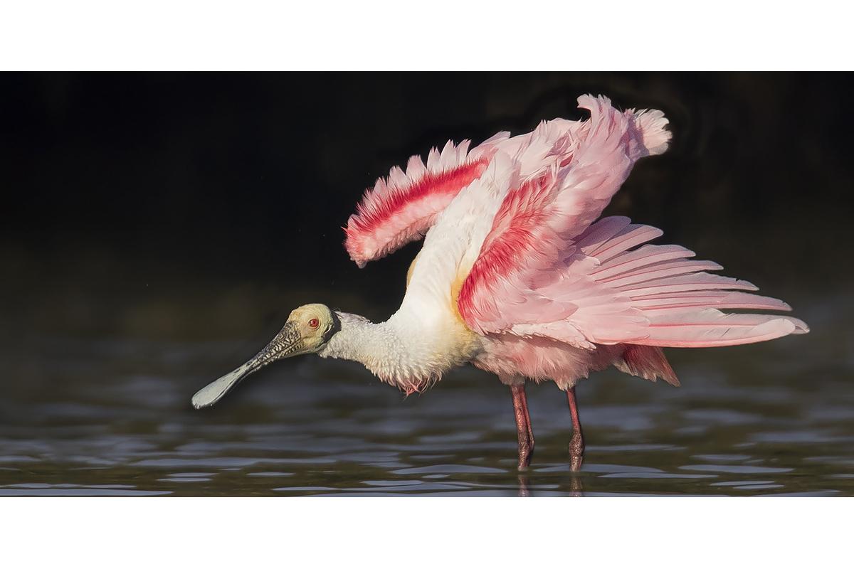 Fine Art_Florida Spoonbills_Aerodynamic Pose