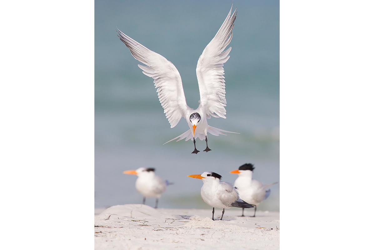 Fine Art Florida Birds_Prepared For Landing