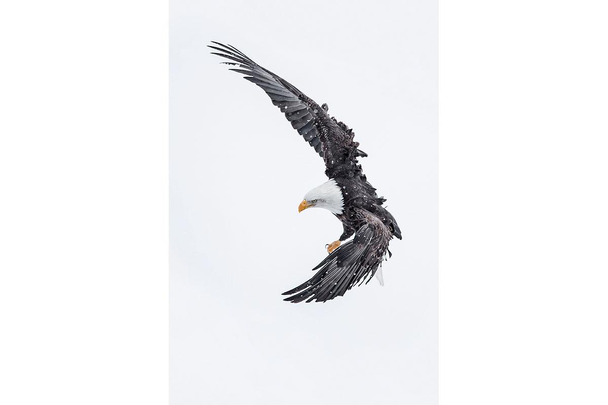 Alaska Bald Eagles_Fine Art_Snow Storm Acrobatics