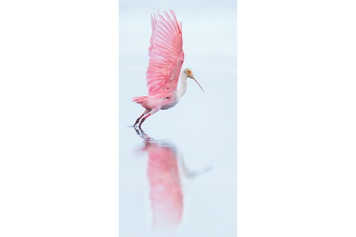 Fine Art_Florida Spoonbills_Take Off Reflection