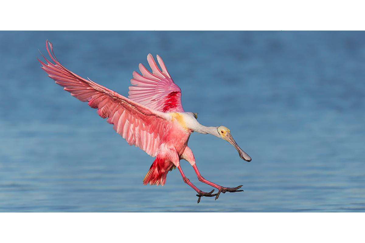 Fine Art_Florida Spoonbills_Pink Landing On Blue