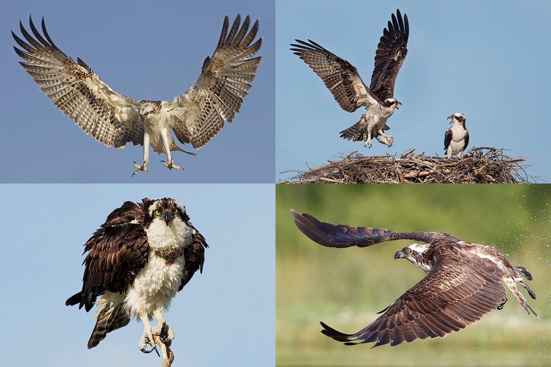 Florida Ospreys Photography Tour