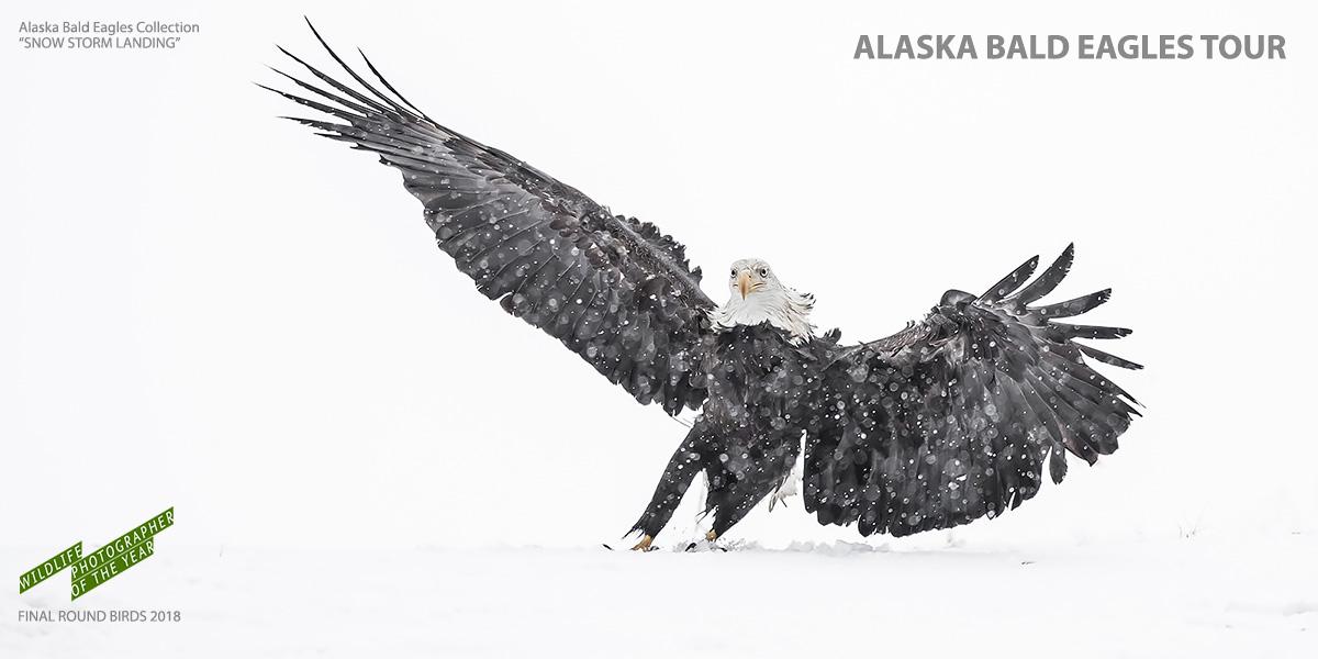Alaska Bald Eagle Tours_Snow Storm Landing
