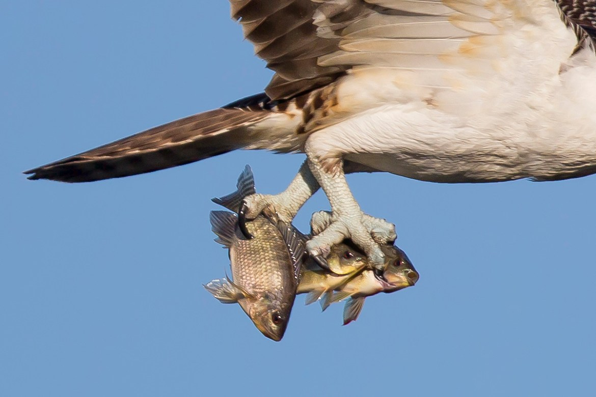Florida Osprey Tour_Catches
