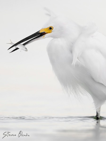 Bird photography at Fort Desoto - Snowy Egret
