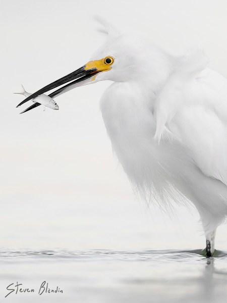 Bird photography at Fort Desoto - Snowy Egret