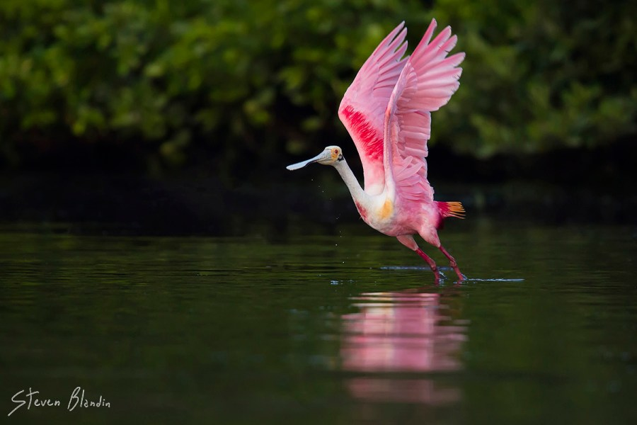 Florida Spoonbill taking off - Photography Tour
