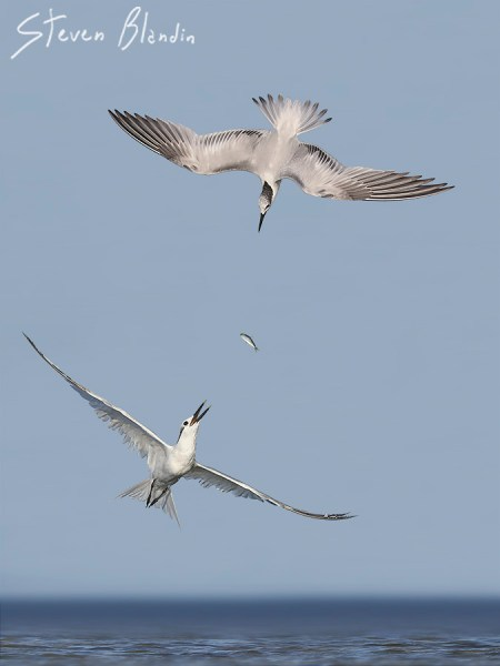 Sandwich Terns after a fish - Fort Desoto