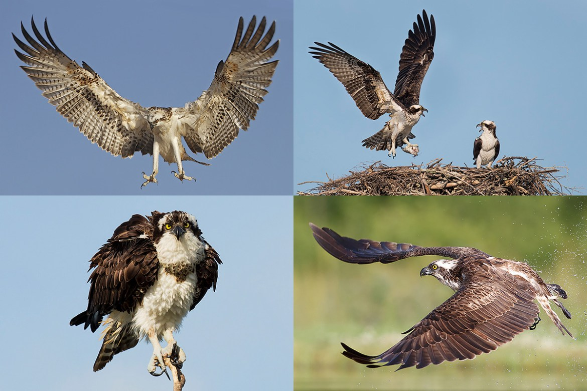 Florida Osprey Photography Tour