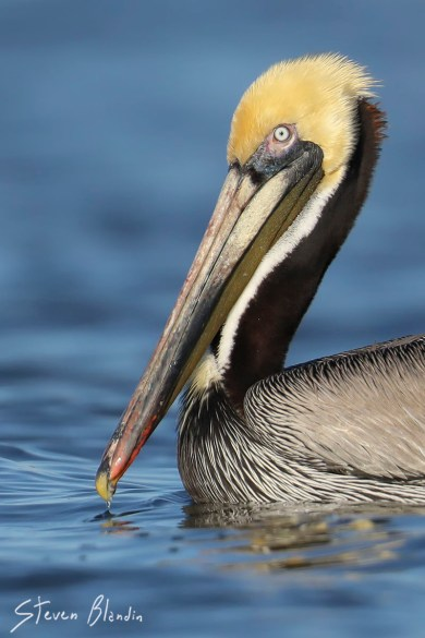 Florida Brown Pelican with breeding colors