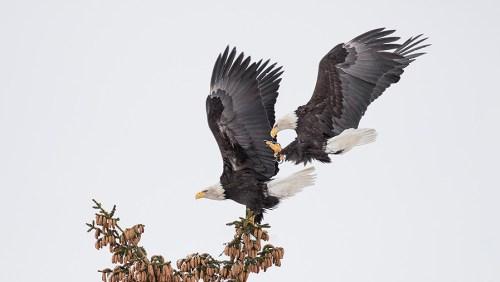 Alaska Bald Eagle Photography Tour_05