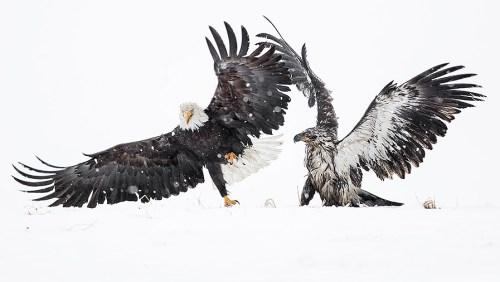 Alaska Bald Eagle Photography Tour_06