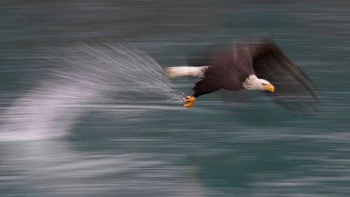 Alaska Bald Eagle Photography Tour_10