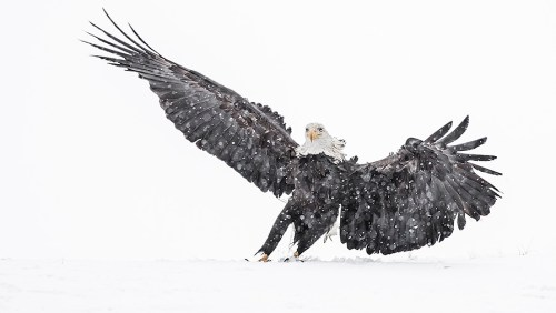 Alaska Bald Eagle Photography Workshop