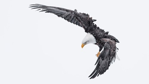 Alaska Bald Eagle Photography Workshop_14