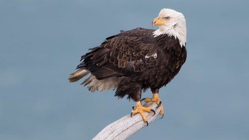 Alaska Bald Eagle Photography Tour_17