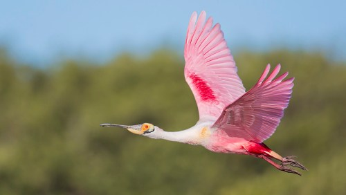 Florida Spoonbill Tour_13